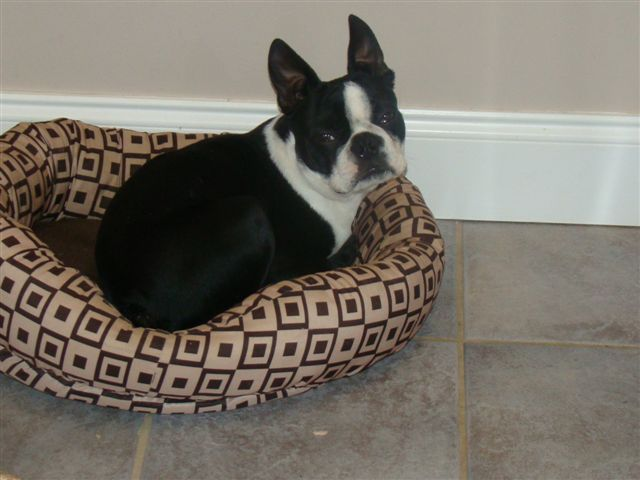 Boston Terrier Stud Service