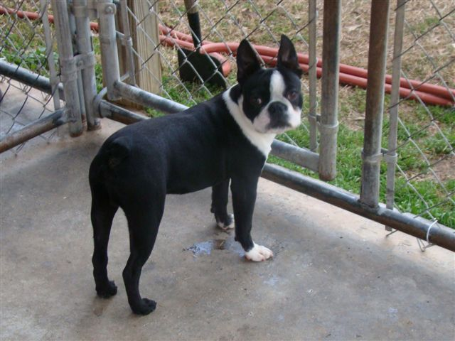 Lytle's Boston Terriers